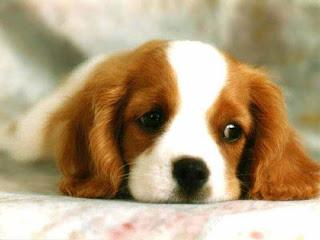 Los perros también pueden ser pesimistas