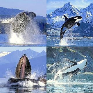 impacto acústico sobre las ballenas