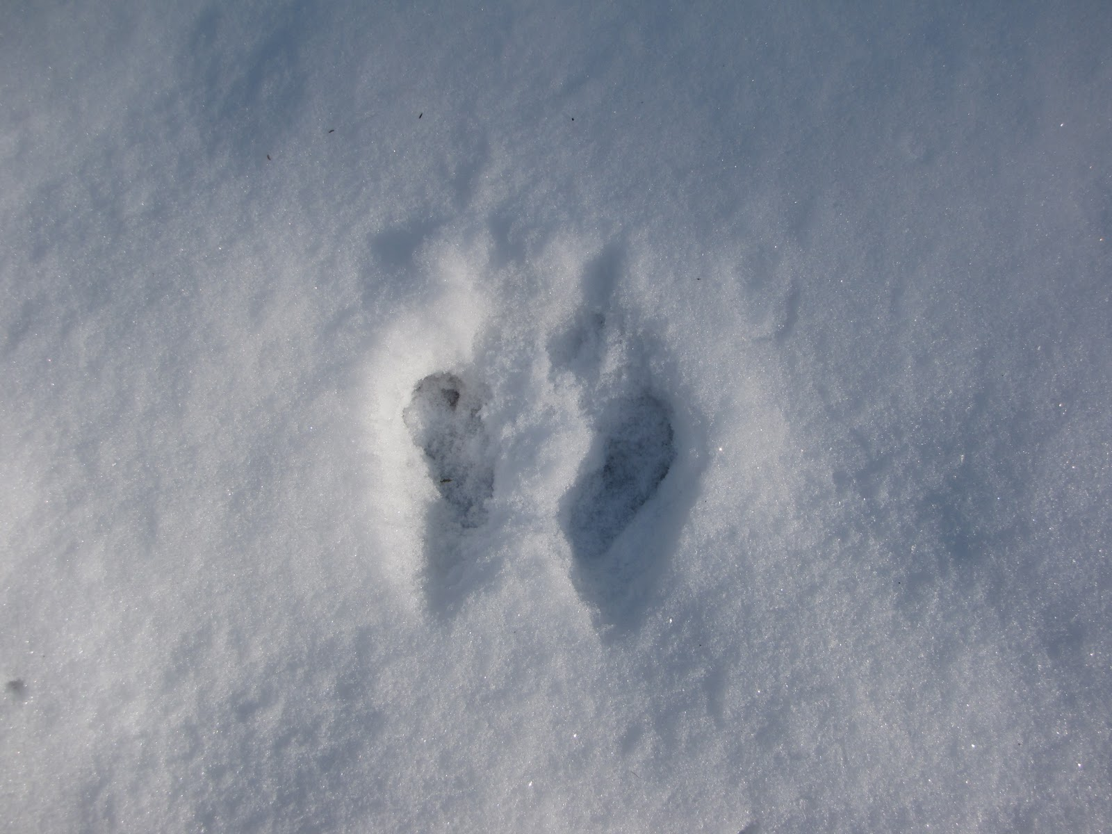 Displaying 17> Images For - Jack Rabbit Tracks...
