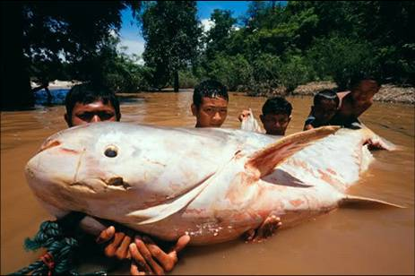World's Largest Catfish