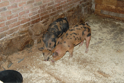 Porcini and Truffle - two piglets
