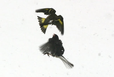 Pine Siskin Junco fighting