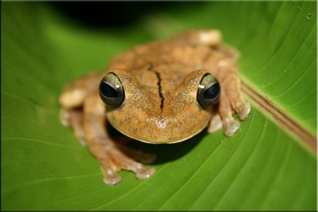 [Image: Gladiator_frog.jpg]