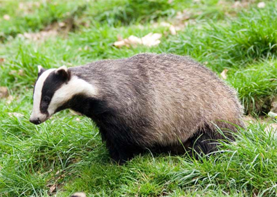 one of the site's badgers who will be 'moved on' - after being monitored and photographed