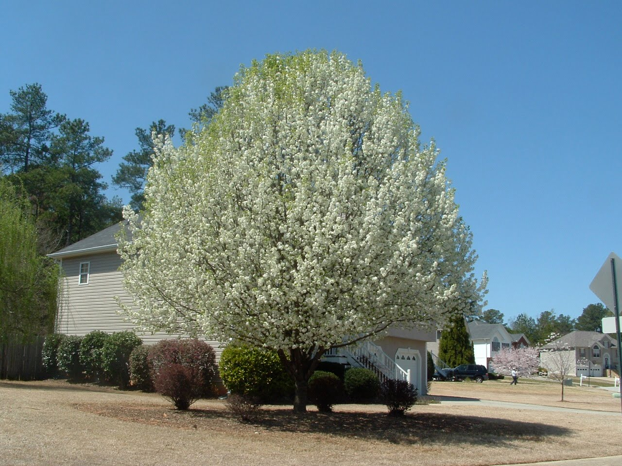 Douglasville georgia flowering trees unsurrounded by other trees the purity of the white blooms makes one gasp with appreciation mightylinksfo Choice Image
