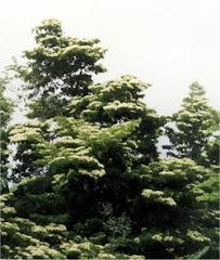 Madroño, árbol nacional