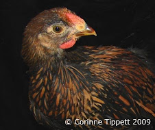Gold Laced Wyandotte