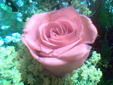 Rosa para lembrar