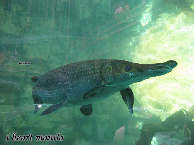 fish picture - alligator gar (look at its mouth, resembles an ...