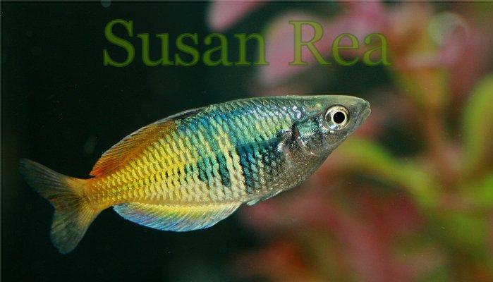 Barbus arulius for Rainbow fish species