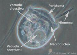 Partes Vorticella - El mundo de Hydra