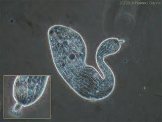 Lacrymaria - El mundo de Hydra