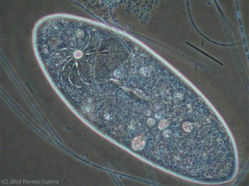 microorganisms paramecium
