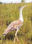 राजस्थान का राज्य पक्षी  गोडावण
