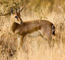 राजस्थान का राज्य पशु चिंकारा
