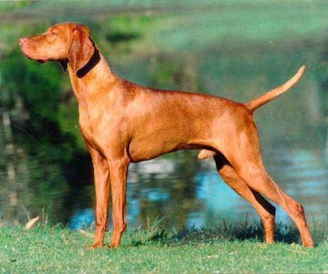 Vizsla ~ Dog Breeds Database