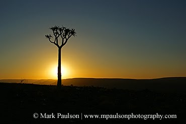 Quiver Tree at Sunset - Fish River Canyon, Namibia