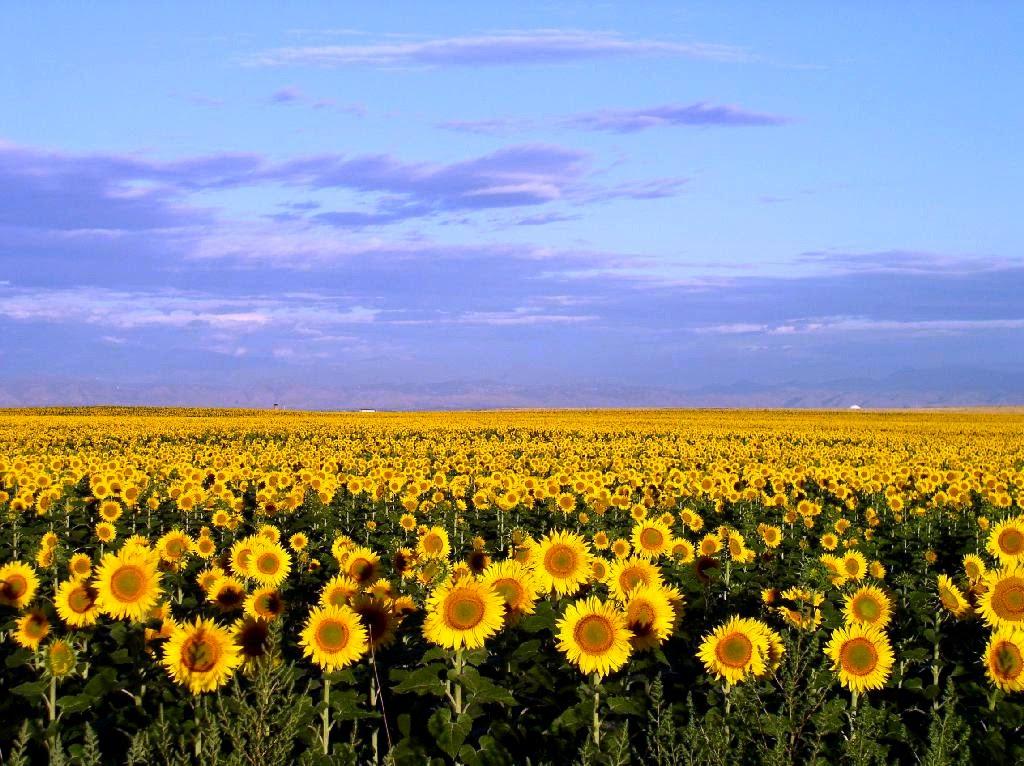 A Redleg 39 S Rides Sunflower Sunrise