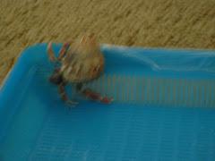 Ariel's hermit Crabs