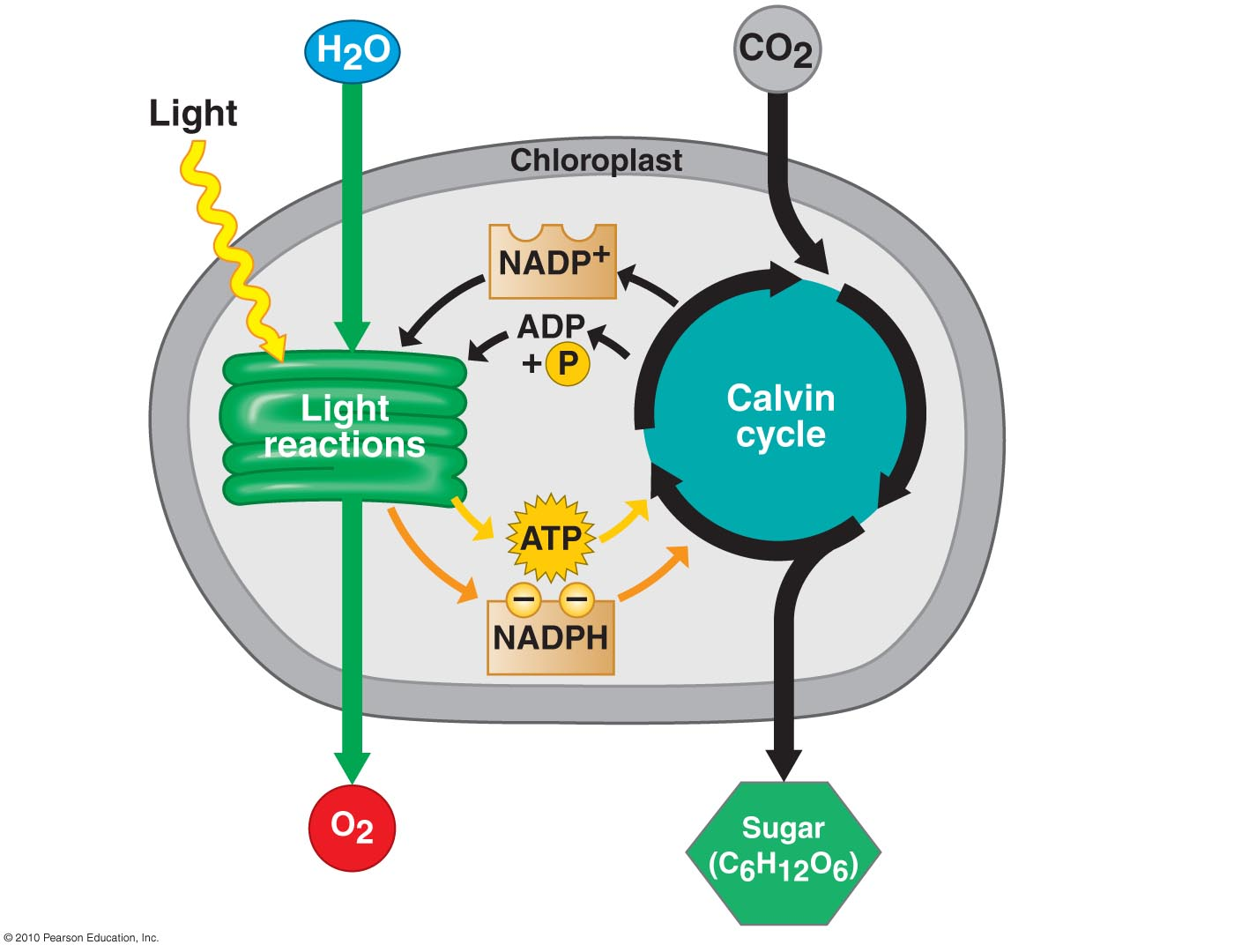 photosythesis light dependent reactions