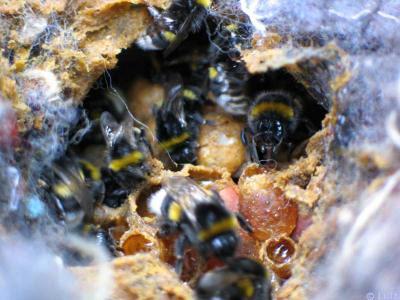 Bombus arılarının doğadaki yaşayışı Susanneluft-nesthellerd3