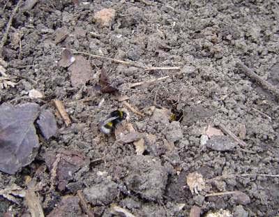Bombus arılarının doğadaki yaşayışı Hummelvolk_bild5