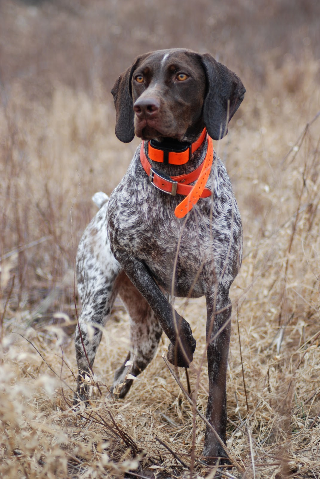 german short haired pointer - photo #6