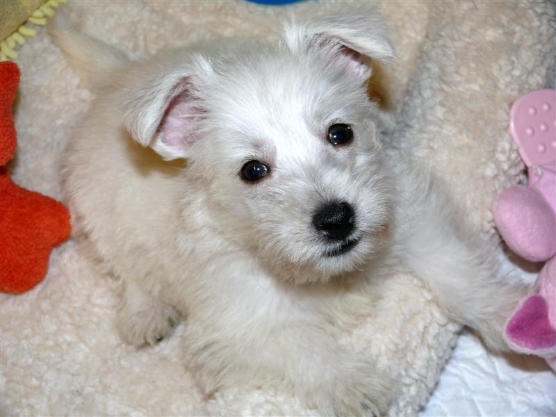Newborn westie puppies