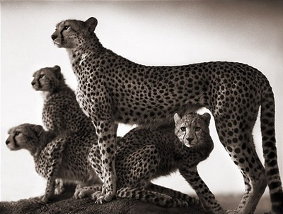 [cheetah+and+cubs+maasai+-+nick+brandt.jpg]