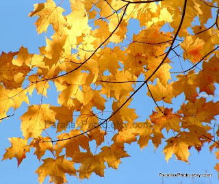 photograph golden yellow leaves blue sky