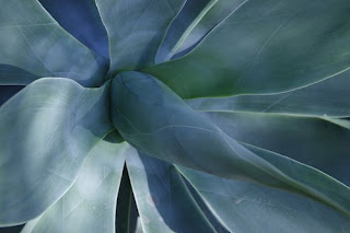 macro photograph blue agave plant