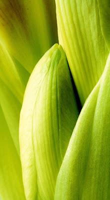 photograph greem amaryllis bud macro