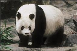 Peligro de extinción del oso panda gigante