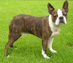 Boston Terrier Care Tips & Guides
