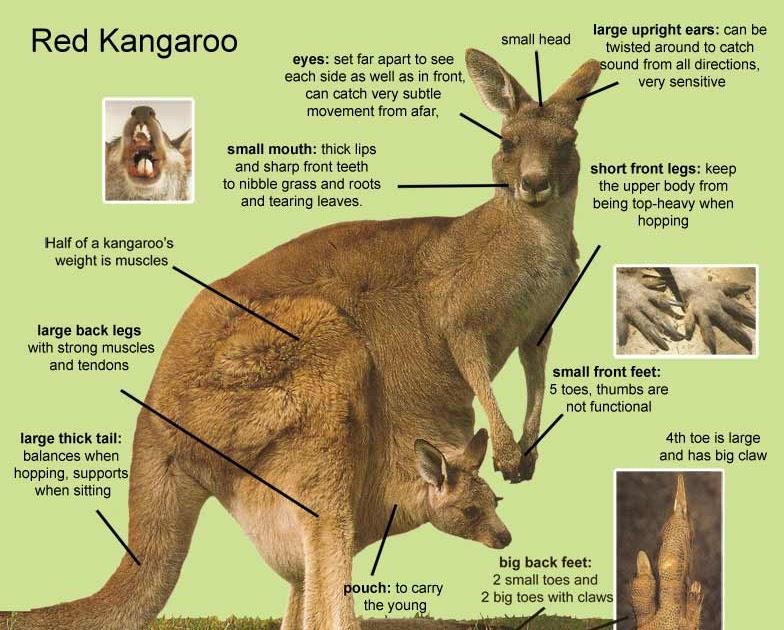 Yang Li  Thesis  Kangaroos