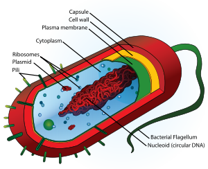 Biology cells the ultrastructure of plant cells for example plants animals fungi protoctists prokaryotes cells these types of cells lack the double membrane organelles and do not have a ccuart Gallery