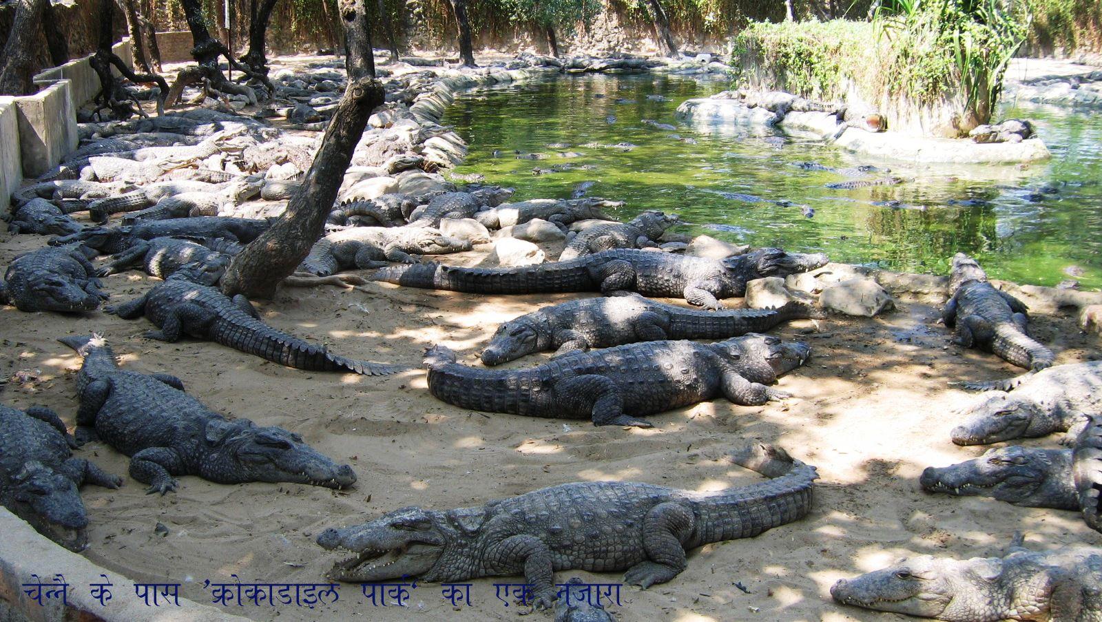 pin chennai crocodile park venkatarangancom blog on pinterest