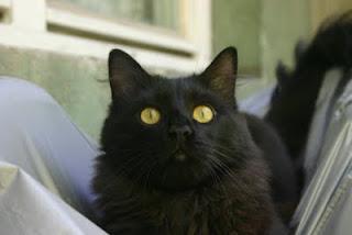 домашна котка кастрация