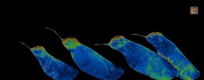 Semillas de acacia c 2