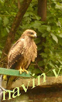 Hawk or Eagle at Sanjay Gandhi National park in Borivali suburb of Mumbai in India