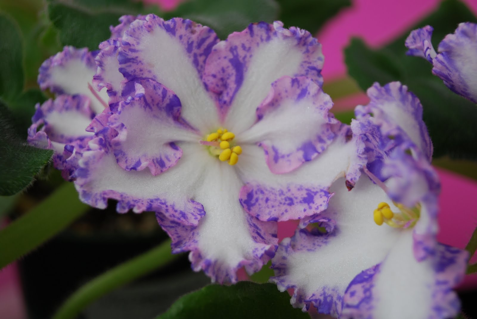 the violets African violets in all types, colors, and sizes and how to grow and care for them growing and shipping african violets to everywhere since 1985.