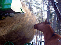 Horse Eating Round Bale Being Lowered by Tractor