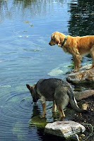 Dogs Drinking Out of a Pond on the Trail