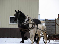 Half-Arab Mare Hitched to Percheron Stallion