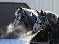 Frosty Breath from Percheron Hitch Pair