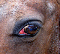 Inflammation in Horse's Eye Resembles Cherry Eye