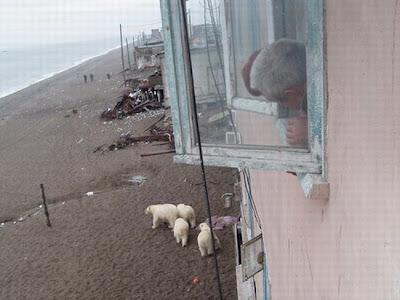 белые медведи в гости пришли