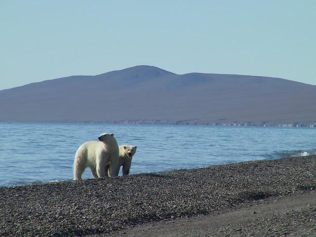 на чукотке белый медведь вышли из воды