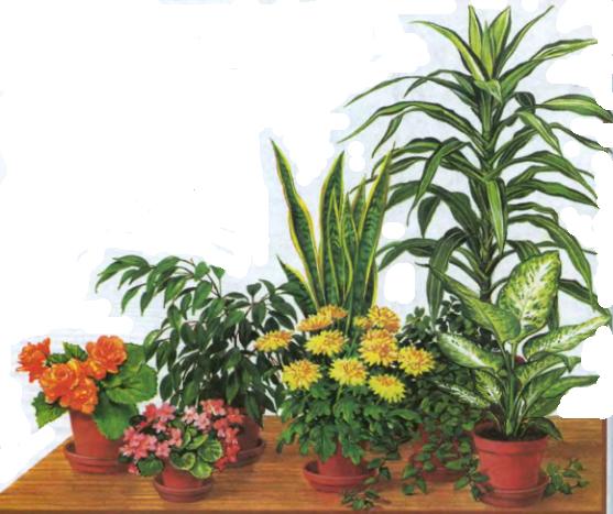 О комнатных растениях