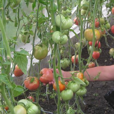 Помидоры парадайз выращивание 49